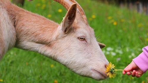 Umågs med djur – häng på en 4H-gård.