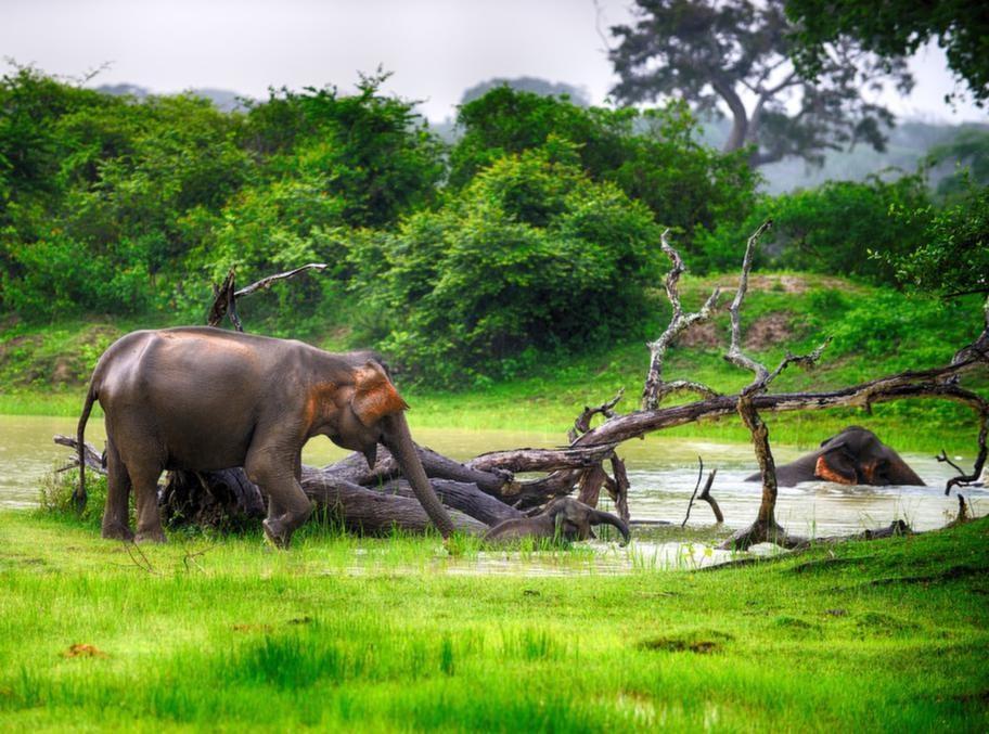 Vill man se många elefanter på en gång är Uda Walawe nationalpark att rekommendera.