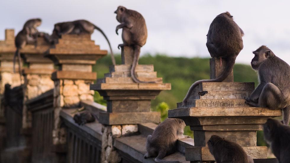 Aporna i templet Uluwatu på Bali är inte som andra makaker.