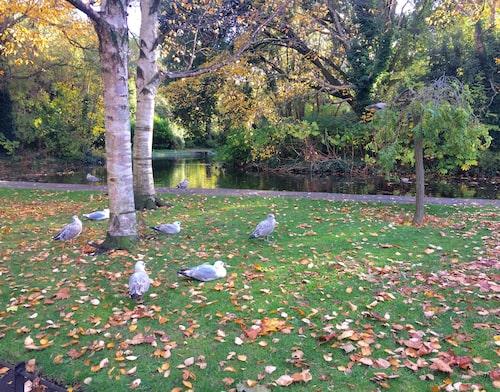 Parken St Stephen's Green är en oas i centrala Dublin.