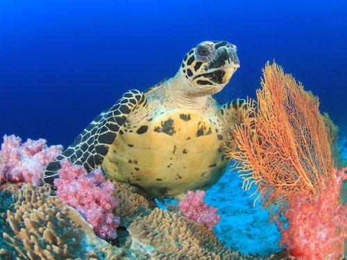 Yasawaöarna är kända för sina havssköldpaddor.