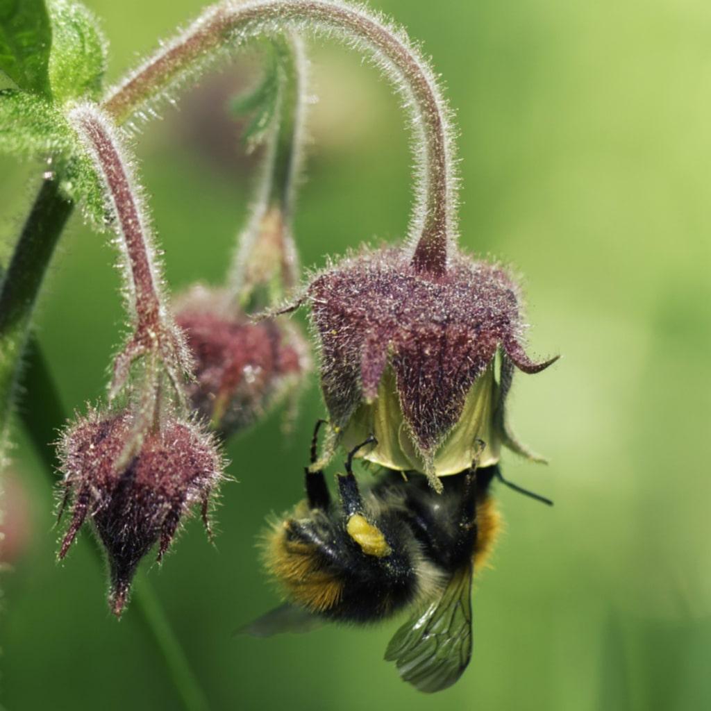 <p><strong>HUMLEBLOMSTER.</strong> En härlig växt som verkligen trivs på ängar och trivs i fuktig jord. Fröna sås på friland i maj, juni och frösår sig sedan lätt.</p>
