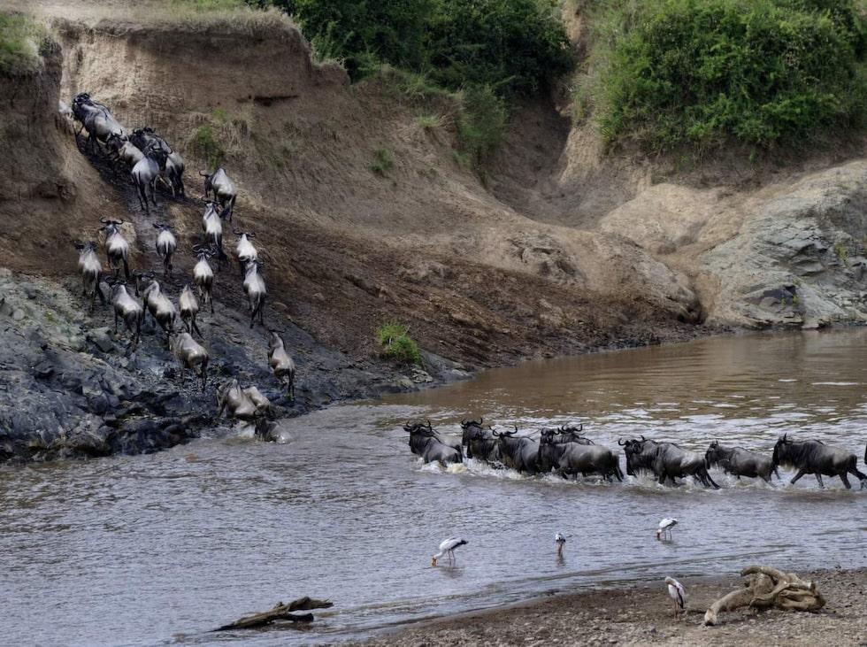 Gnuer korsar Marafloden i Masai Mara.
