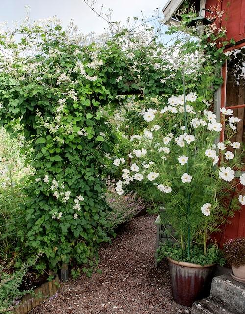 I krukan växer en frodig rosenskära och i pergolan har klematisen Summer Snow fått bre ut sig fritt.