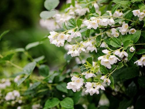 Vill man ha väldoft i sin trädgård ska man plantera en doftschersmin.