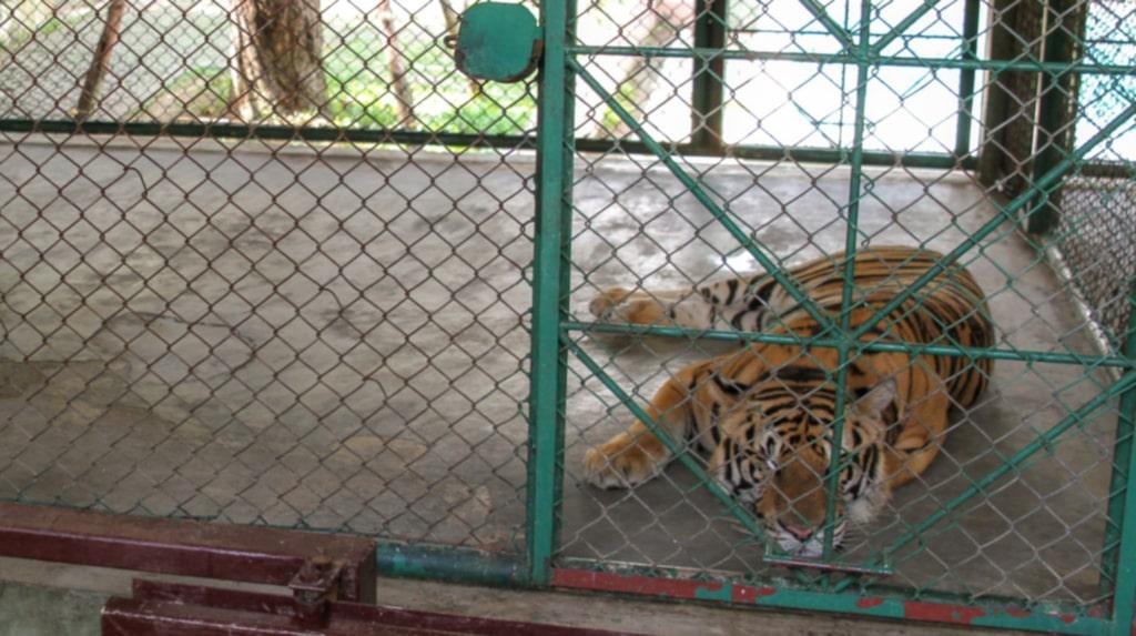 <p>Långt ifrån det vilda livet. En tiger på en av Thailands många tigerparker.</p>