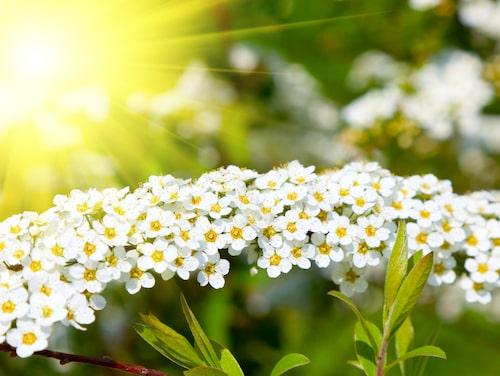 Spirea är ett stort släkte med både tidigblommande och sommarblommande buskar.