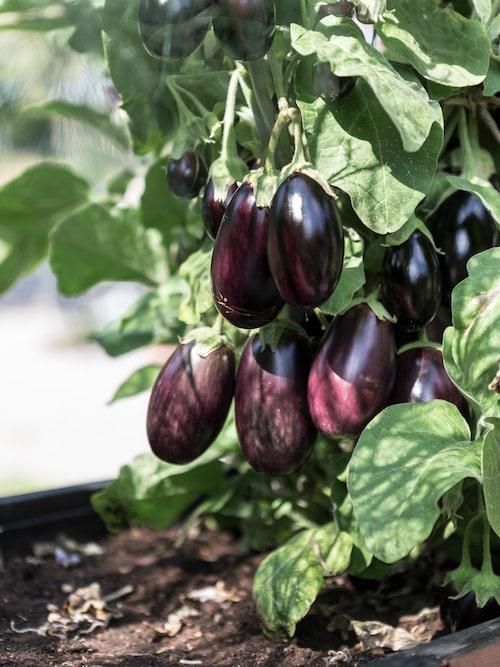 Aubergineplantan stortrivs i Monicas köksträdgård. Den går utmärkt att odla i pallkrage i soligt läge. Sorterna 'Black Beauty' och 'Moneymaker' trivs även i kruka.