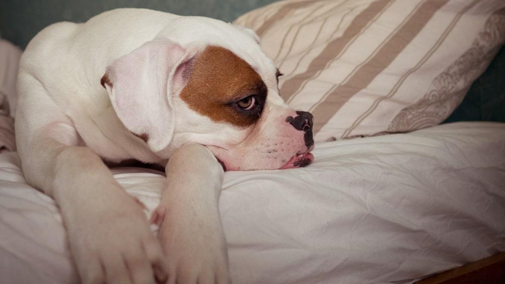 För att du ska sova riktigt bra bör din hund flytta ner på golvet lagom till natten.