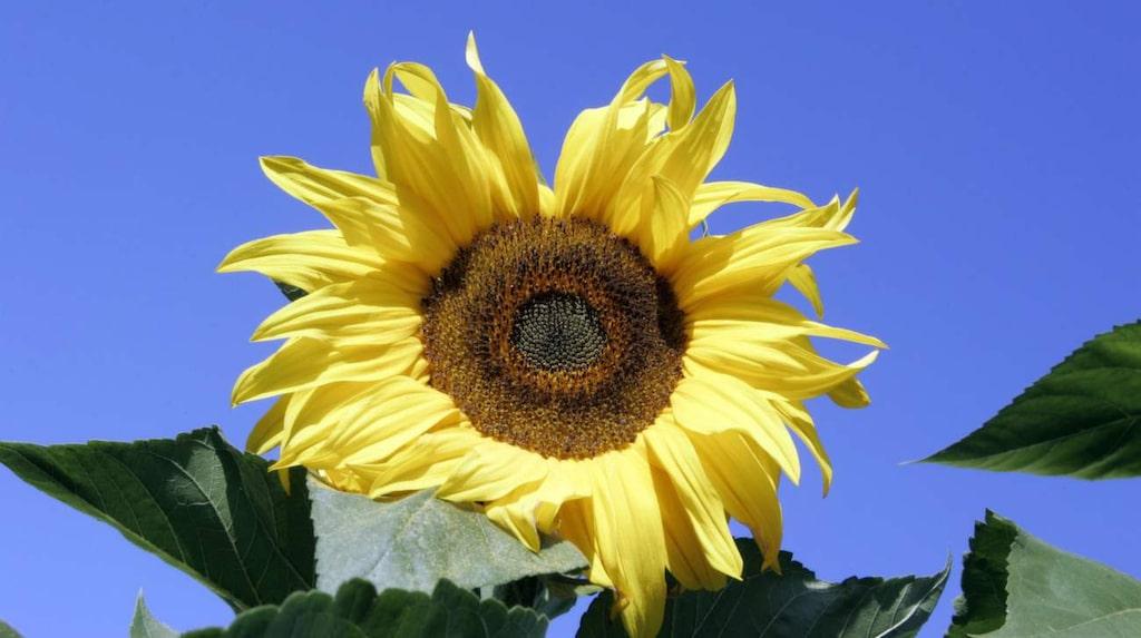 Varje solros kan innehålla 1 000-2 000 frön.