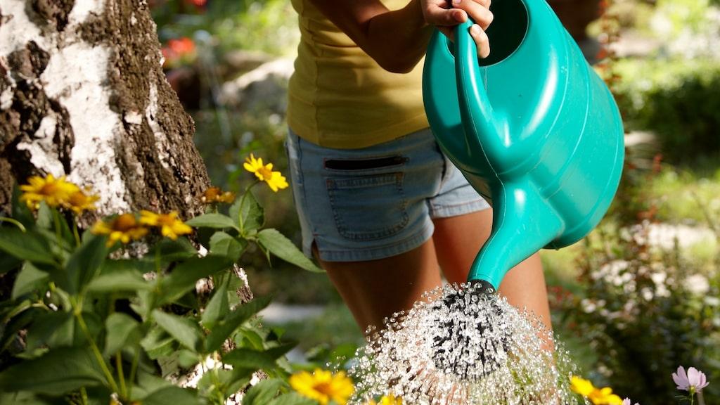 Är det en väldigt torr sommar så spara vatten när du kokar exempelvis pasta och använd till att vattna blommorna med senare.