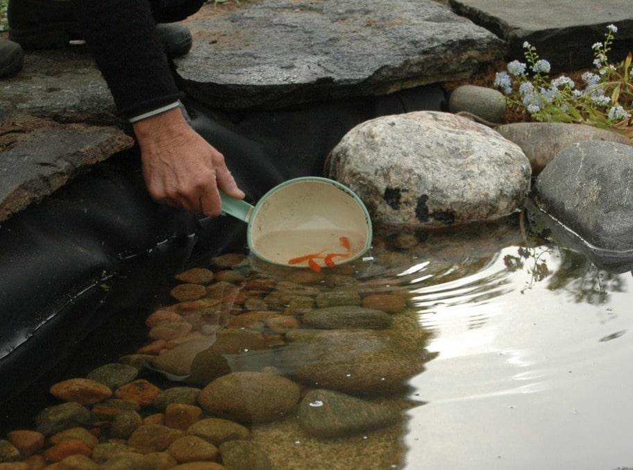 12. PLACERA MYGGJÄGARE Ganska snart vimlade det av mygglarver i vattnet. Och det var ett fåfängt jobb att försöka håva upp alla. Fem små guldfiskar införskaffades och släpptes ut i dammen, sen gick mygglarverna åt ganska fort.