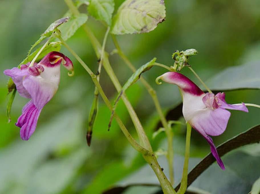 Parrot Flower (Impatiens Psittacina).Källa: brucekekule.com