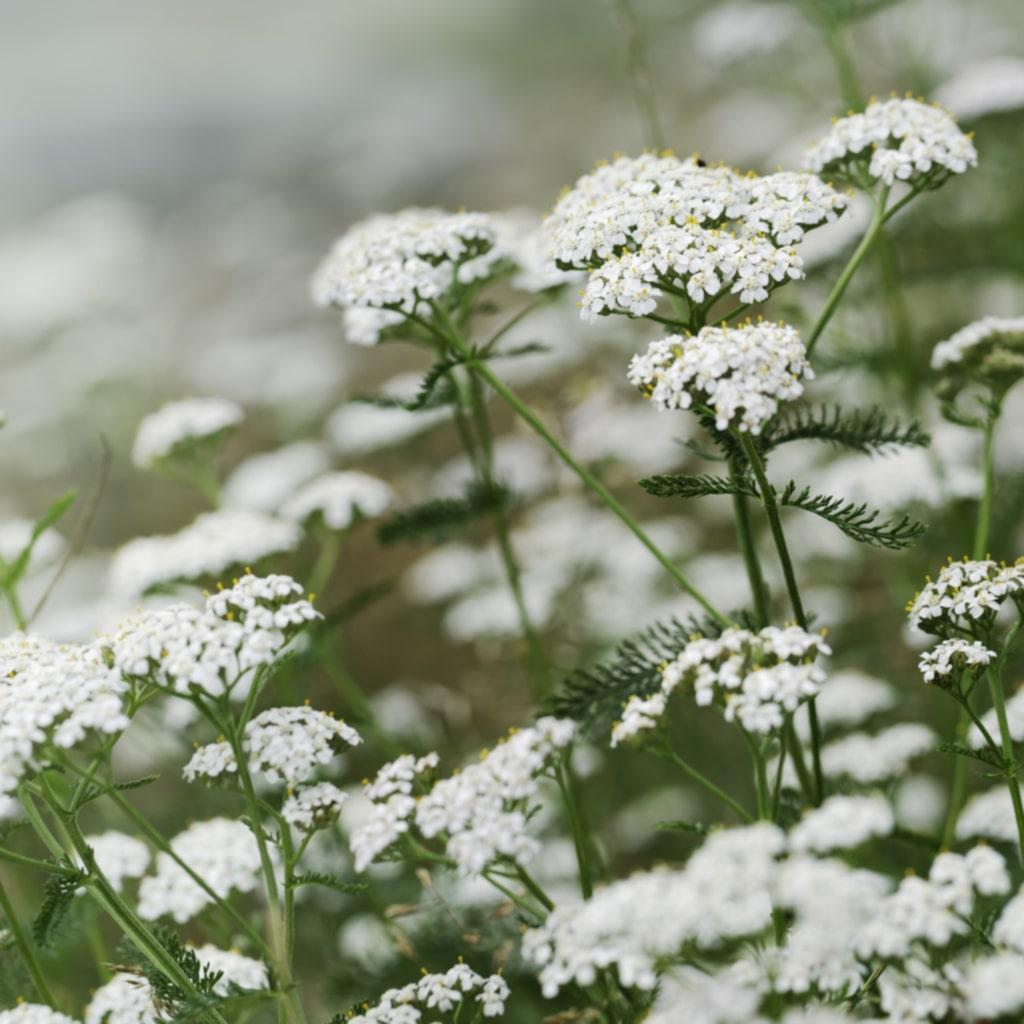 <p><strong>RÖLLEKA. </strong>Gammal medicinalväxt som blommar vackert i vitt. Finns blomsterängsblandningar och är kanske inte jättefin att ha i buketter, men blir fin på ängen. Trivs i fuktig jord.</p>