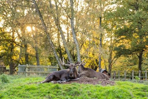 Magisk kvällspromenad i parken bland djuren efter stängningsdags.