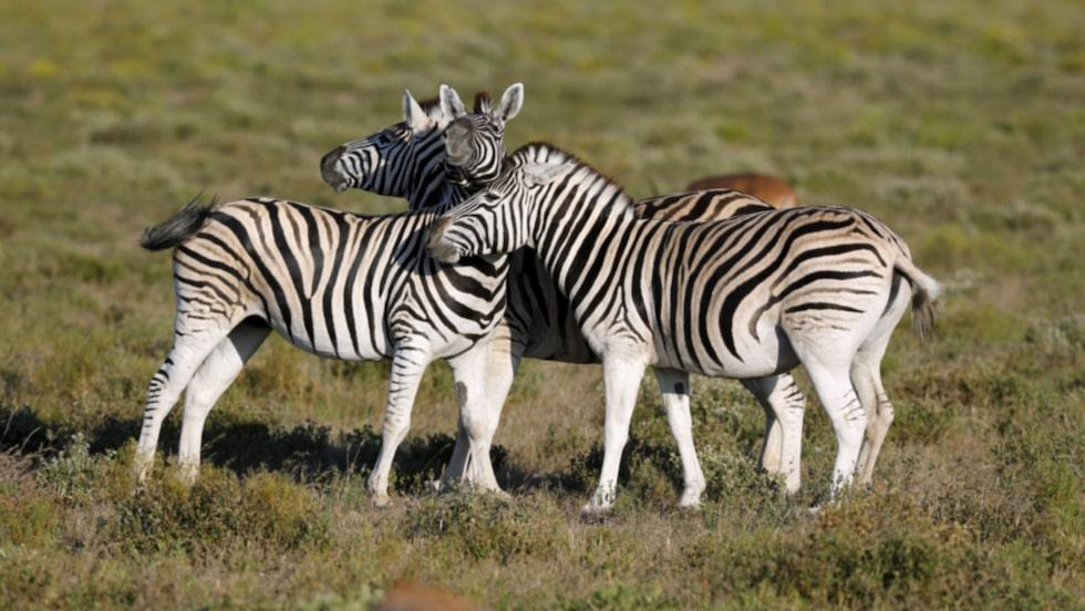 Zebror är en vanlig syn här.
