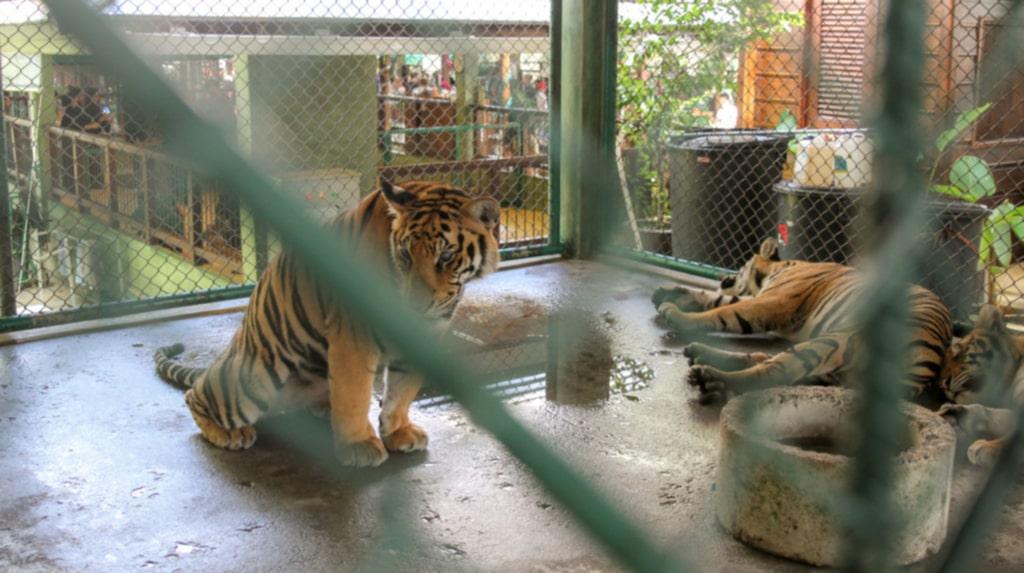 Betong under tassarna och trånga utrymmen är tigrarnas vardag i Thailand.