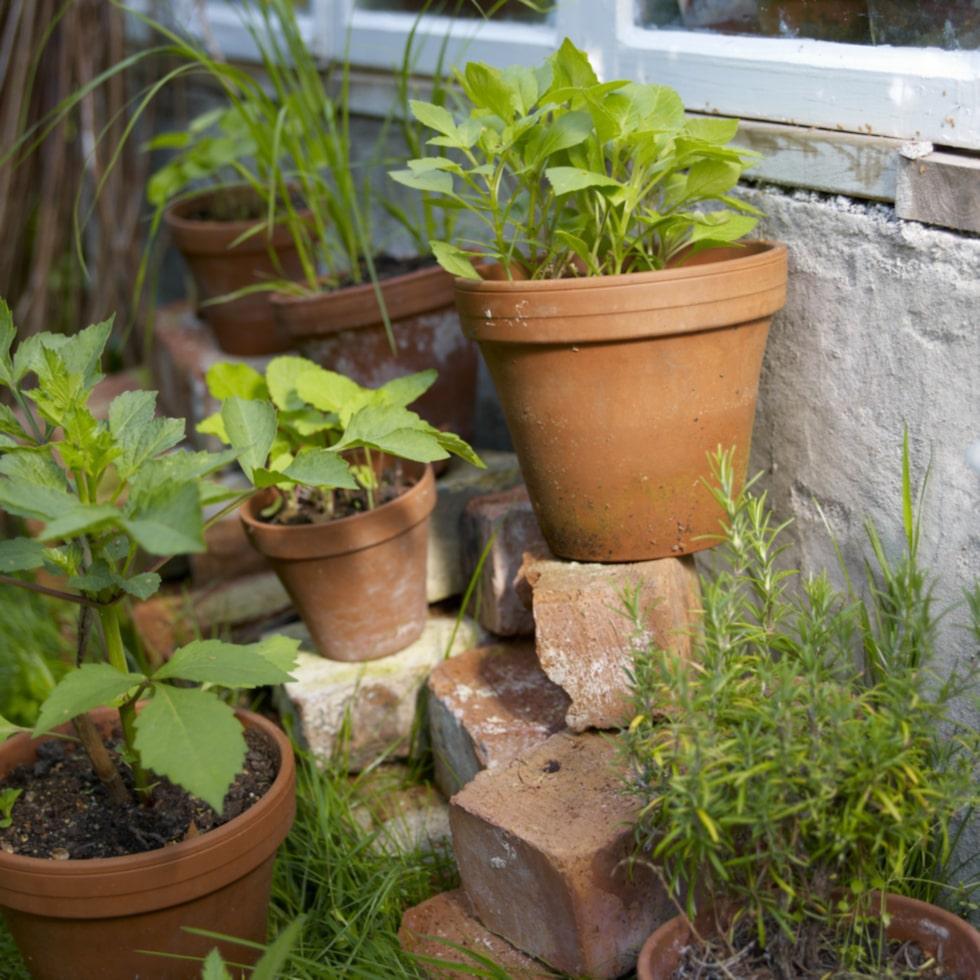De befintliga stenplattorna blev golv inne i växthuset så allt odlas i krukor.