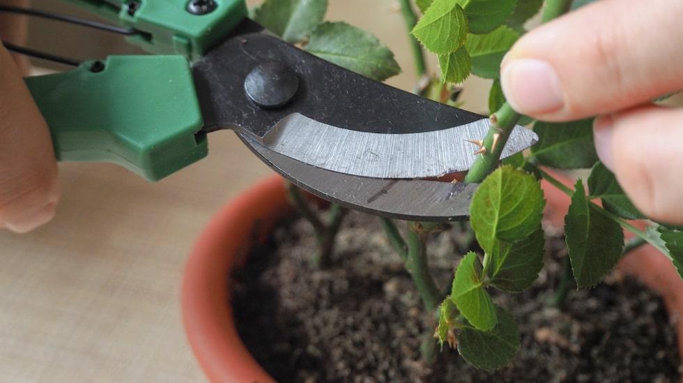 Se till att kniven du skär med är ren – och gör korta sticklingar. Har du till exempel en lång pelargongren kan du dela upp den i flera sektioner med 3-4 bladpar var.