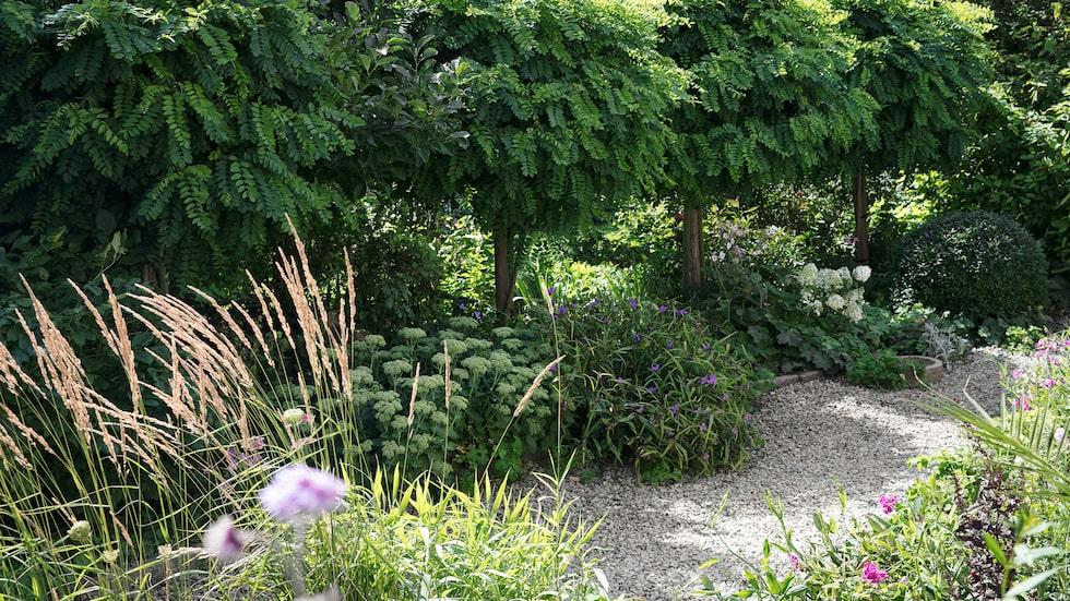 Robiniorna är dominerande och stora just nu, men till hösten vissnar de, vilket ger trädgården ett helt annat uttryck.