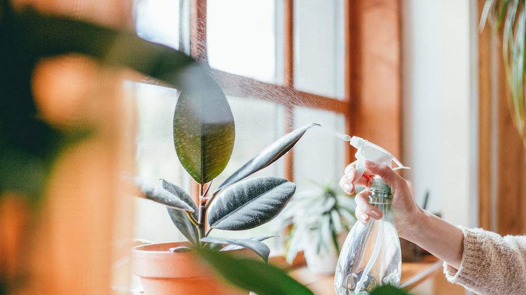 Glöm inte blomsprutan! Många gröna växter vill ha fuktig luft.