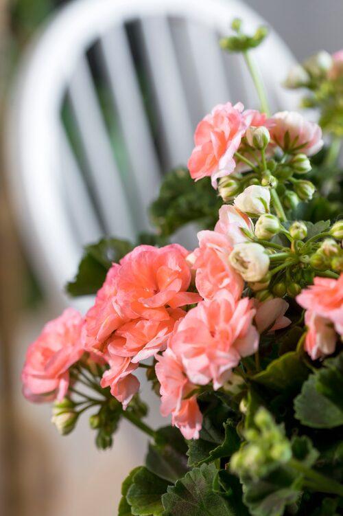 Sorten har fyllda små, nästan roslika blommor som sitter tätt och skimrar i olika nyanser av rosa och aprikos.