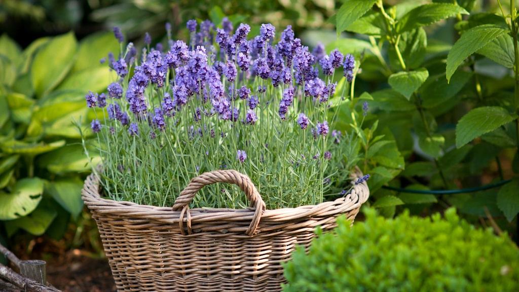 Lavendeln finns i 47 kända arter och är en populär blomma som förgyller många trädgårdar och balkonger. Förutom det rent dekorativa och estetiskt vackra, finns det massor av saker man kan använda denna fantastiska blomma till.