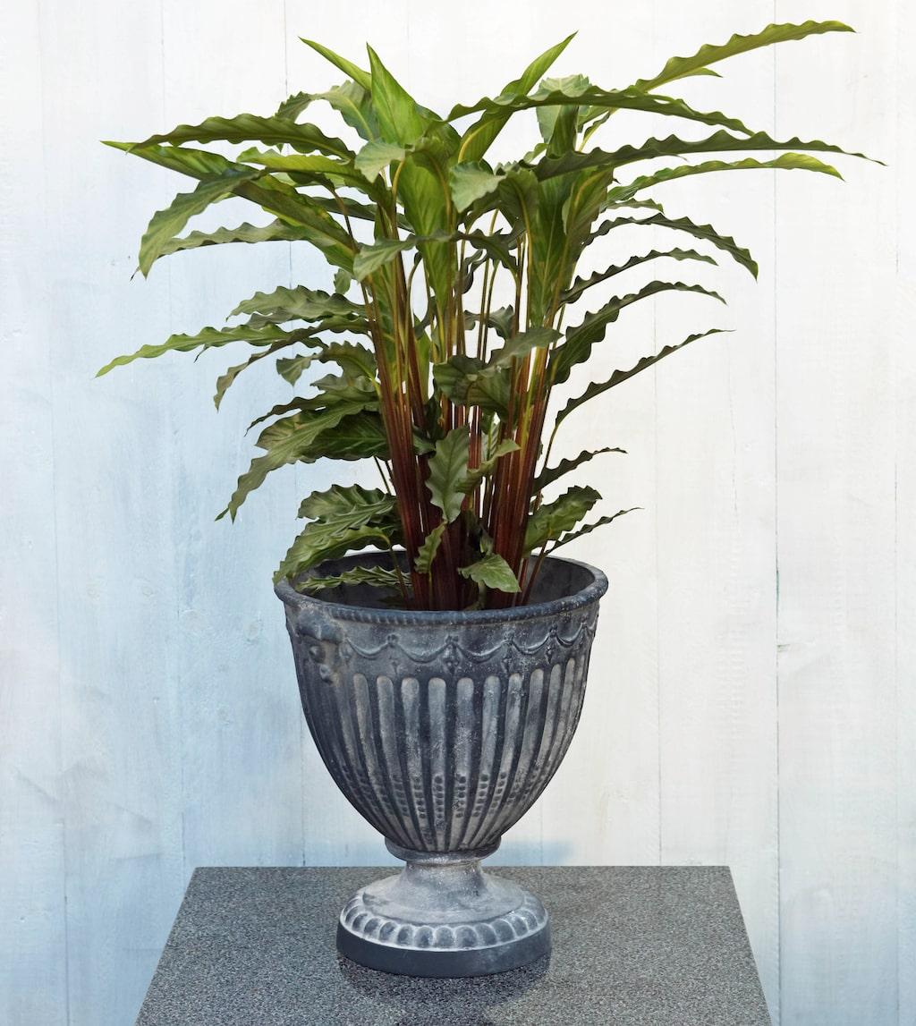 Kalatea är en växt vars blad bleks av för mycket ljus.