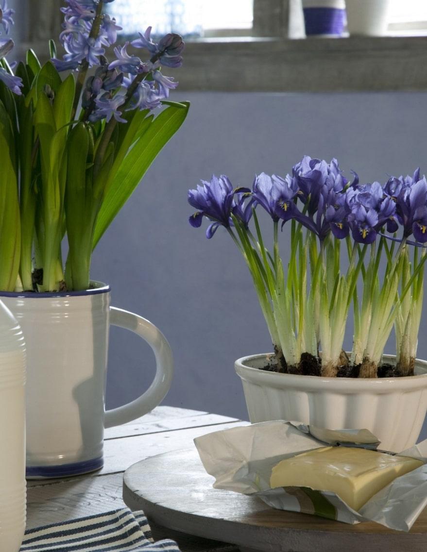 Samma färg. Håll ihop temat och välj krukor i samma färg och material, här har den vita kakformen i porslin och den vita porslinstillbringaren planterats med våriris och blåa hyacinter.