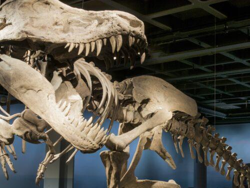 T-Rex på naturhistoriska museet.