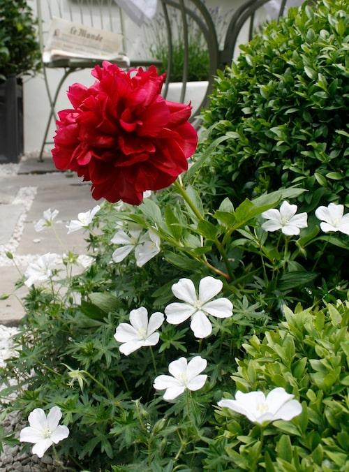 En lysande röd pion blir som en färgklick vid uteplatsen. Här växer den tillsammans med vita nävor och formklippta vintergröna buskar. Det får pionens röda färg att framhävas ännu mer.