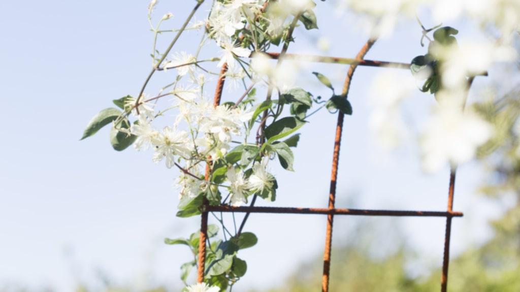 """<p>En del av dubbelbågen, som är hemmagjord i armeringsjärn, med blommande klematisen """"Paul farges"""".</p>"""
