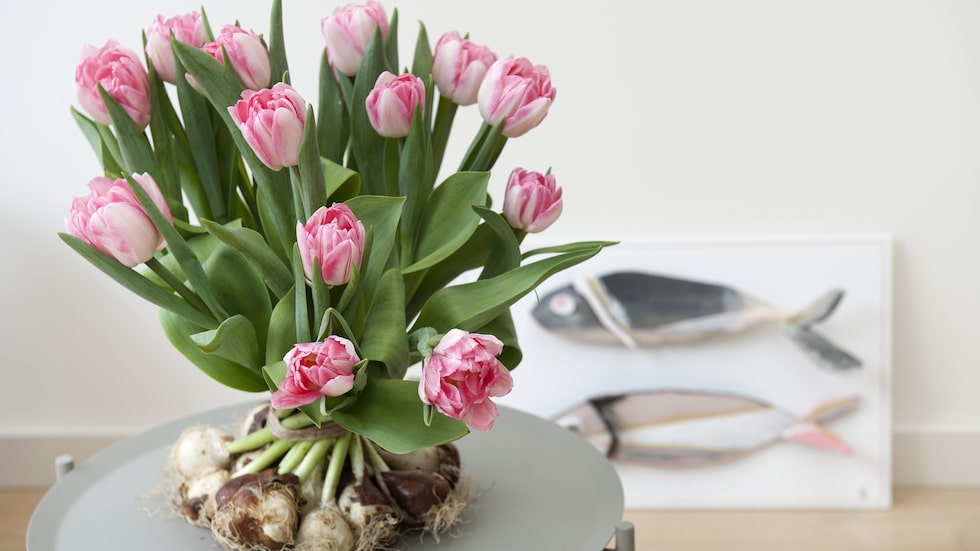 I vissa välsorterade blomsteraffärer hittar du tulpaner på lök, de är tacksamma  att experimentera med.