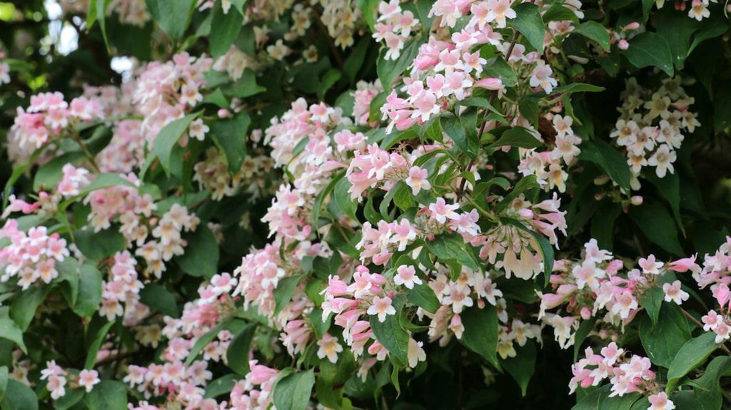 Paradisbusken är både vacker och väldoftande – och dessutom lätt att sköta om.