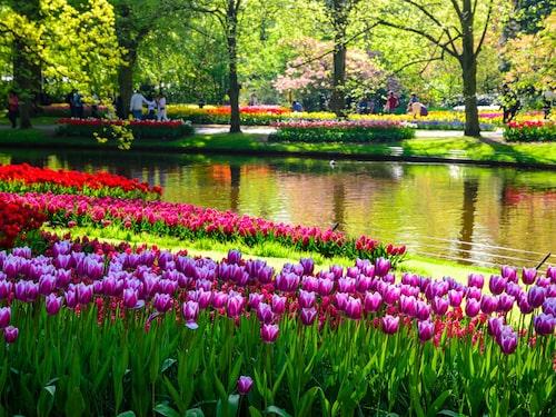 Miljontals tulpaner blomstrar i Keukenhof i april.