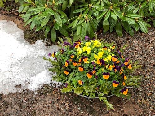 Penséer fungerar från tidig vår till sen höst eftersom de tål både frost och minusgrader.