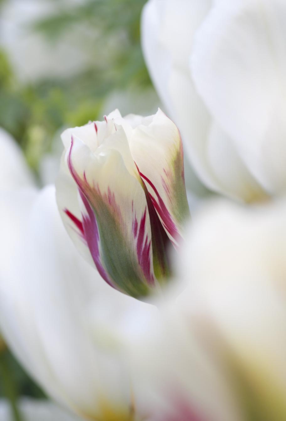 En relativt ny tulpan är den undersköna 'Flaming Spring Green'.