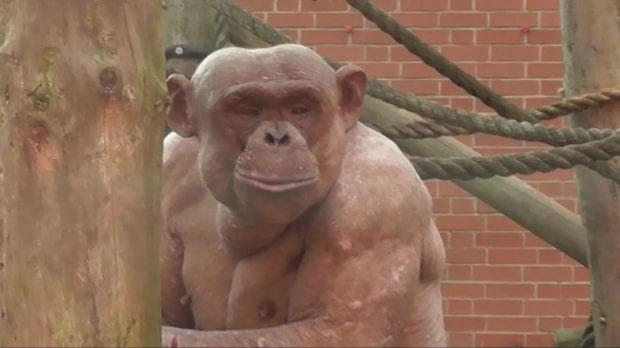 Schimpanserna tappar håret – av att leva i bur