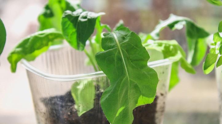 Extra plus för att den går att odla inomhus året om.