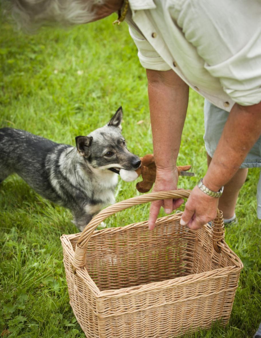 TRICK: LÄGG SAKER I EN KORGSteg 1: Tappa leksaken i korgen. Ställ  en korg på golvet och placera en leksak nära den. Uppmuntra din hund  att ta upp sin leksak och hjälp sedan hunden att tappa den i korgen  genom att peka ner i den. De första gångerna kan du även släppa ner en  godis i korgen. Efter några övningar kan du vänta att ge godiset tills  hunden först släppt föremålet.