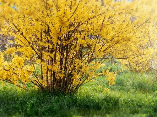 Forsythia har underbart lysande solgula blommor.