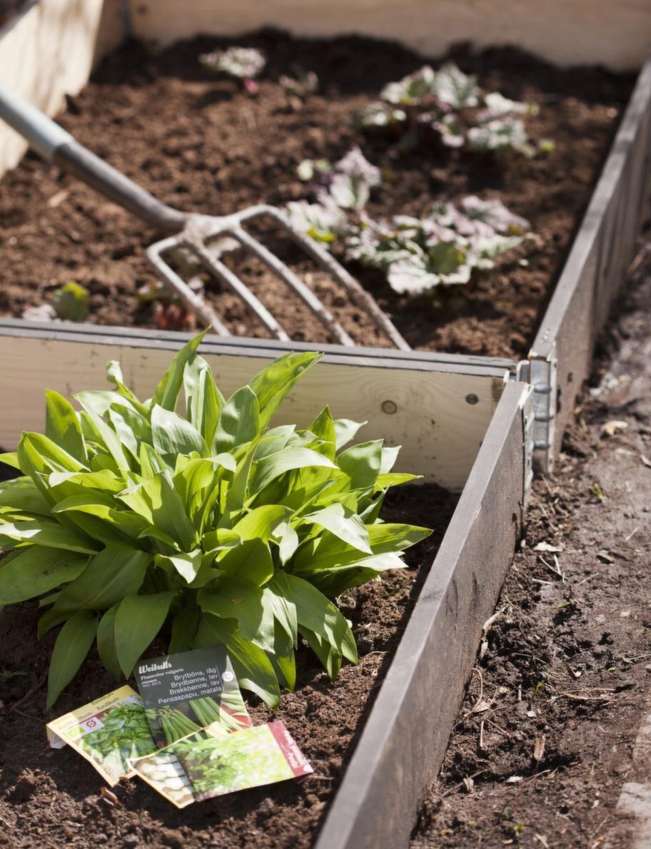 I trädgården.Ramslök har redan kommit upp... Snart väntar annan lök, sparris och kanske, med litet tur, jordgubbar.