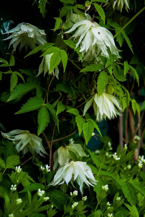 Tidiga klematissorter blommar redan i maj.