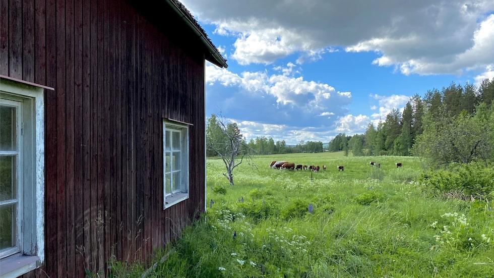 Utanför fönstret är det utsikt mot kohagar.