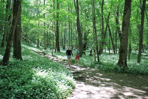 Under försommaren lockar Munkängarna med ramslök som bildar en grönvit matta av blad och blommor.