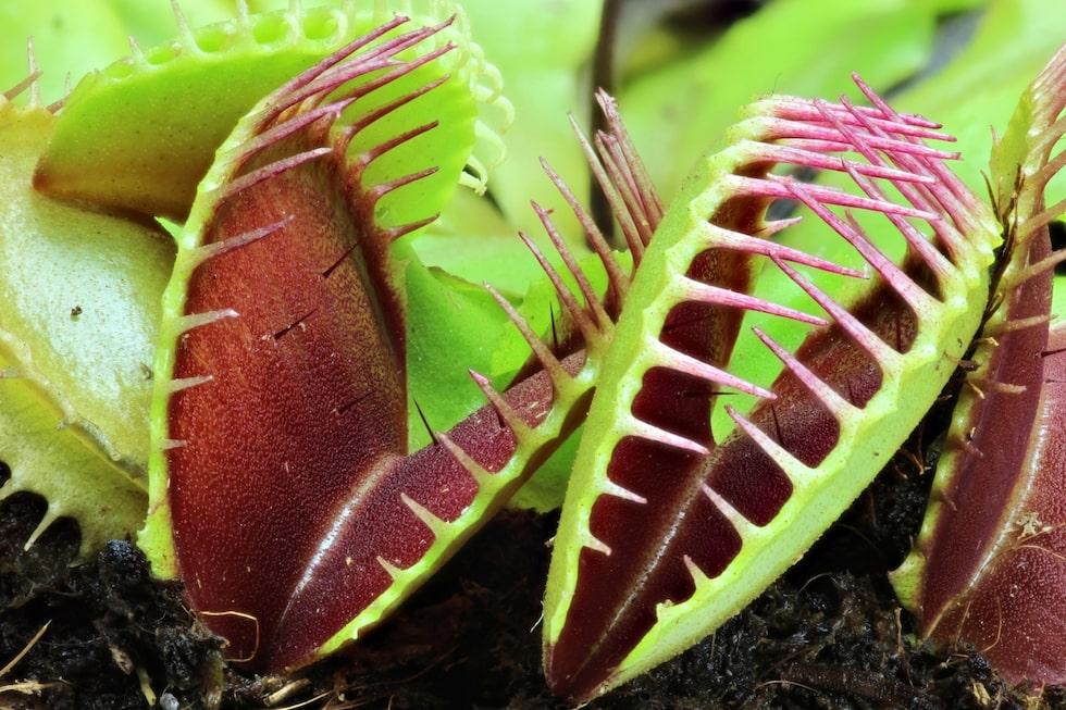 Venus flugfälla. I flugfällan finns en vätska som bryter ned insekten och efter 4-5 dagar är insekten färdigsmält och bladet öppnar sig igen.