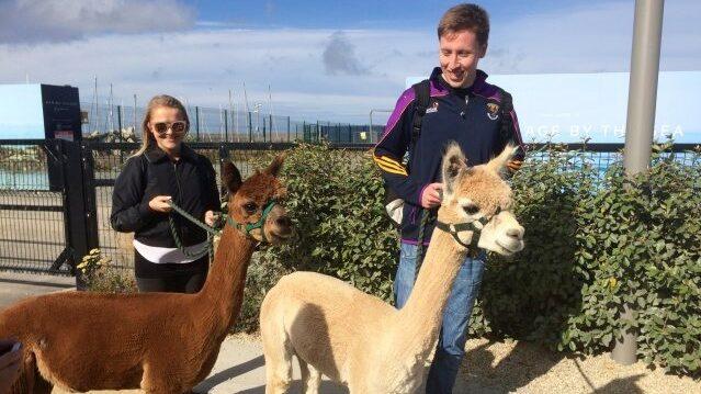 På Irland kommer vandrare kunna klappa alpackorna under dagsturerna.