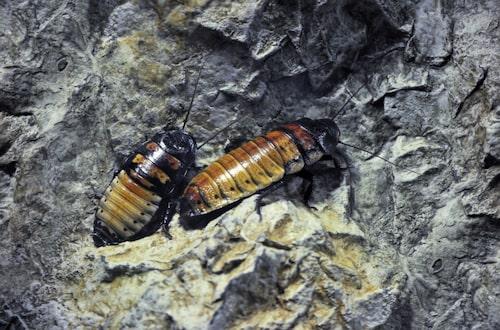 Undvik att slicka på kackerlackor.
