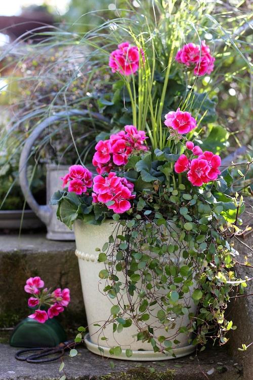 Pelargoner vill stå ljust och luftigt. Planterar du pelargoner tillsammans med andra växter – eller flera pelargoner tillsammans – ska du inte plantera växterna för tätt.