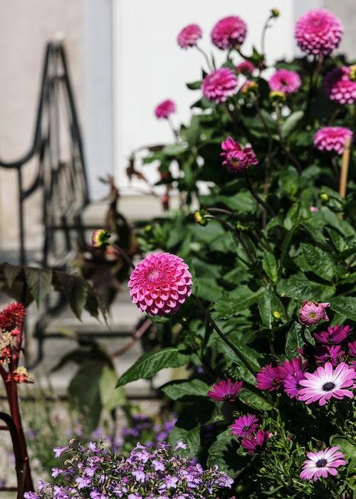 Dahlia, lobelia och afrikansk margerit i krukor vid ytterdörren.